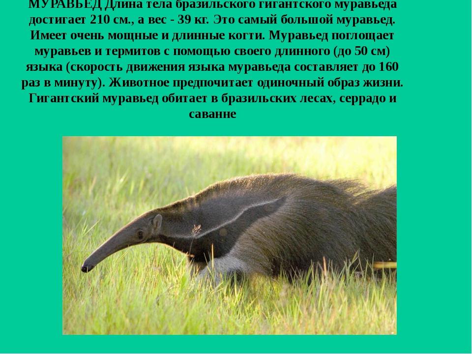 МУРАВЬЕД Длина тела бразильского гигантского муравьеда достигает 210 см., а в...
