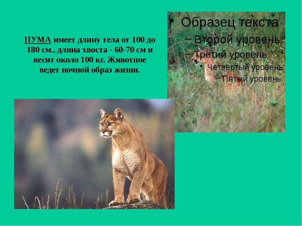 ПУМА имеет длину тела от 100 до 180 см., длина хвоста - 60-70 см и весит окол...