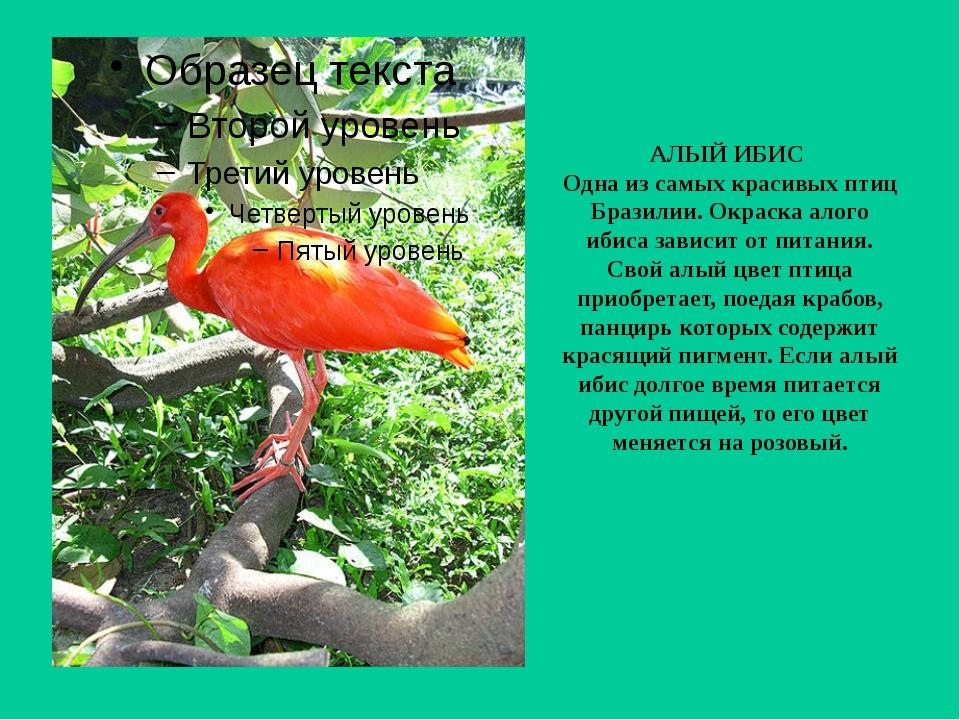 АЛЫЙ ИБИС Одна из самых красивых птиц Бразилии. Окраска алого ибиса зависит о...