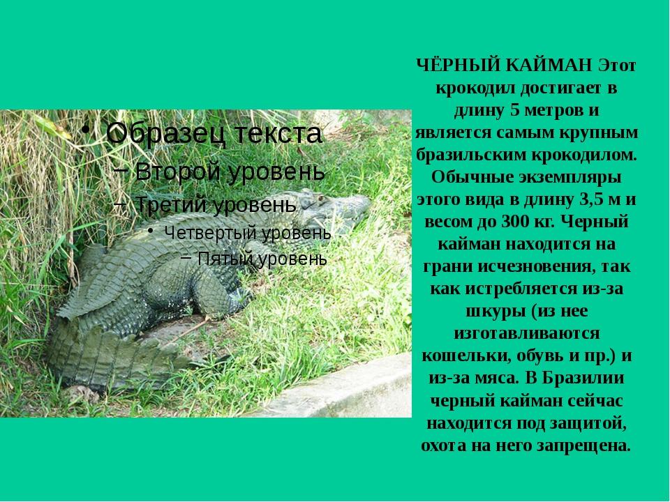 ЧЁРНЫЙ КАЙМАН Этот крокодил достигает в длину 5 метров и является самым крупн...
