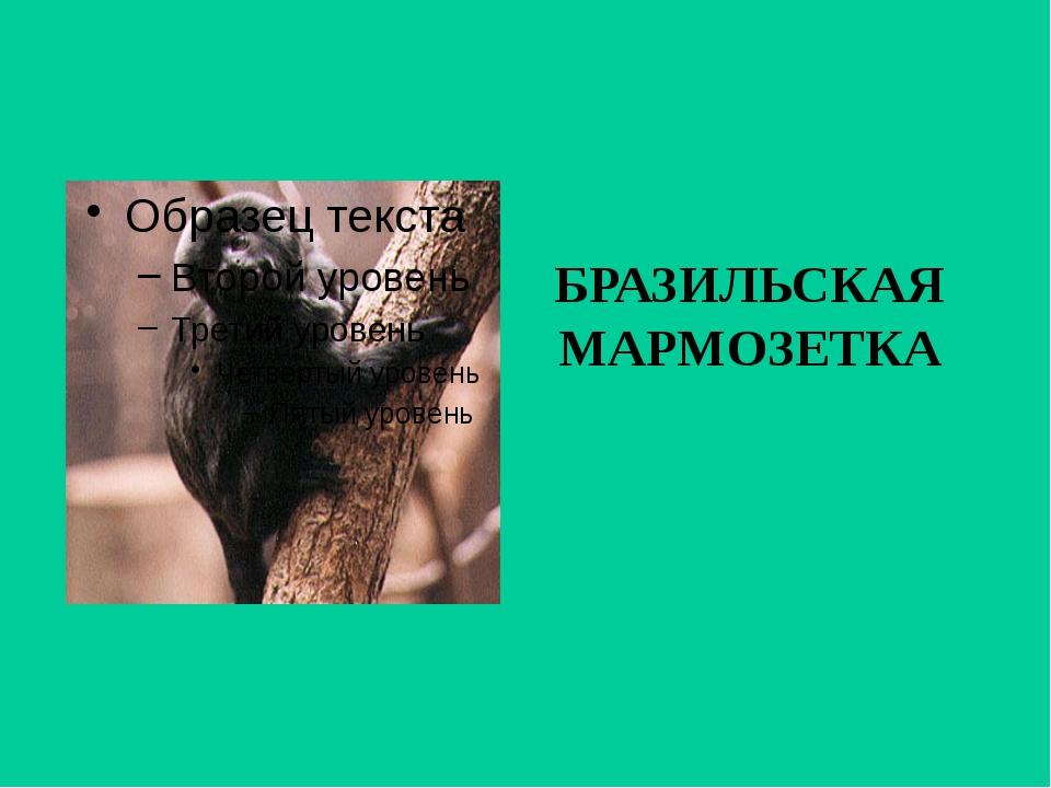 БРАЗИЛЬСКАЯ МАРМОЗЕТКА
