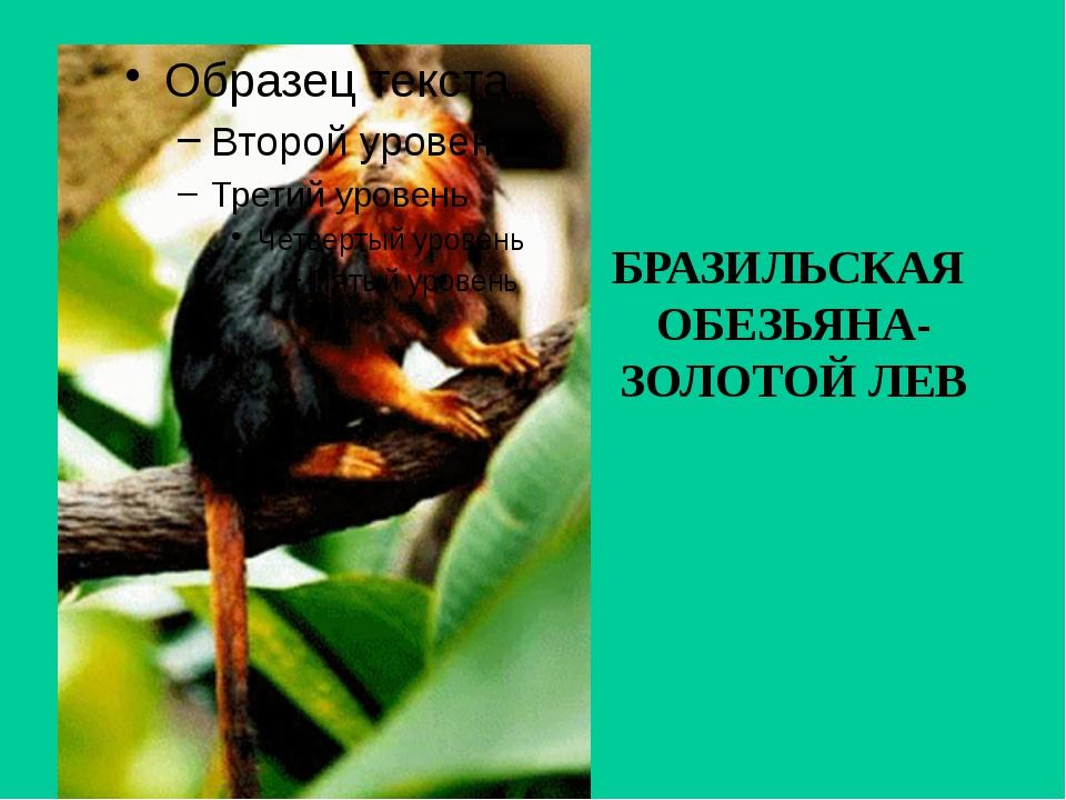 БРАЗИЛЬСКАЯ ОБЕЗЬЯНА- ЗОЛОТОЙ ЛЕВ