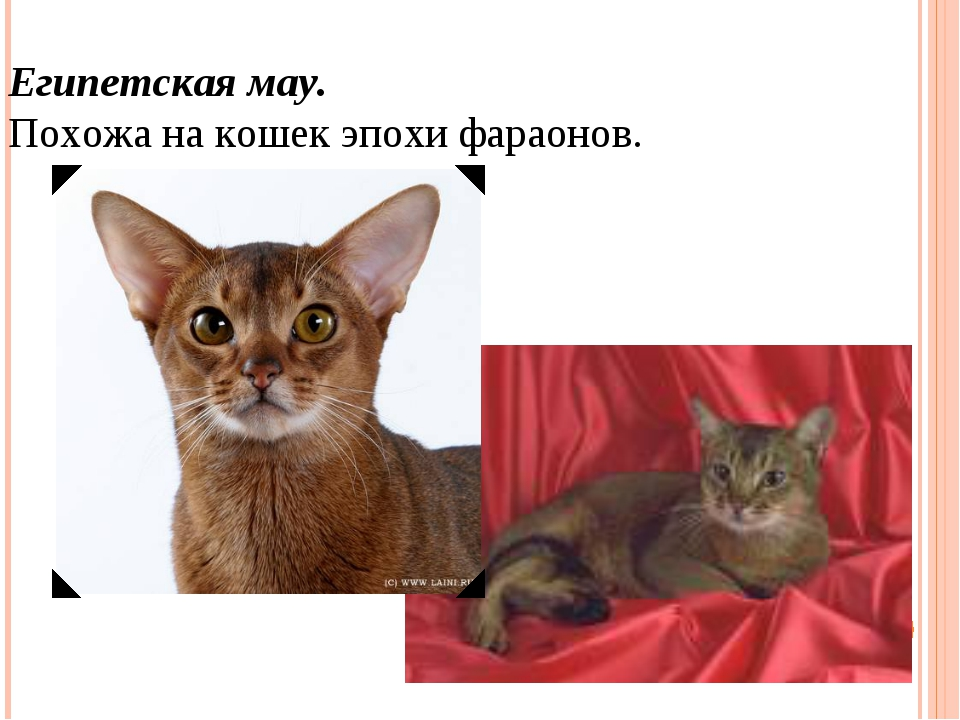 Египетская мау. Похожа на кошек эпохи фараонов.