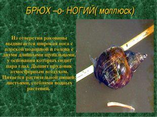 БРЮХ –о- НОГИЙ( моллюск) Из отверстия раковины выдвигается широкая нога с пло