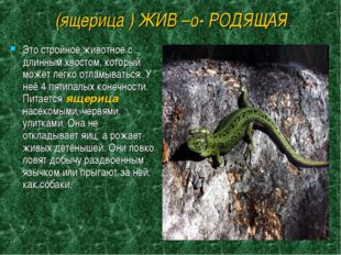 (ящерица ) ЖИВ –о- РОДЯЩАЯ Это стройное животное с длинным хвостом, который м