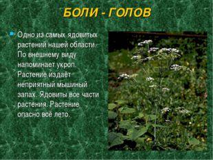 БОЛИ - ГОЛОВ Одно из самых ядовитых растений нашей области. По внешнему виду