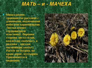 МАТЬ – и - МАЧЕХА Многолетнее, травянистое растение с длинными, подземными по