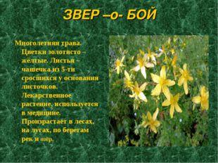 ЗВЕР –о- БОЙ Многолетняя трава. Цветки золотисто – жёлтые. Листья – чашечка и