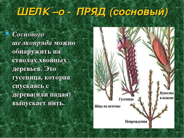 ШЕЛК –о - ПРЯД (сосновый) Соснового шелкопряда можно обнаружить на стволах хв...