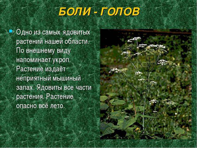 БОЛИ - ГОЛОВ Одно из самых ядовитых растений нашей области. По внешнему виду...
