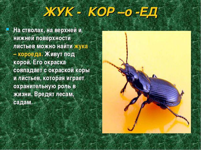ЖУК - КОР –о -ЕД На стволах, на верхней и нижней поверхности листьев можно на...