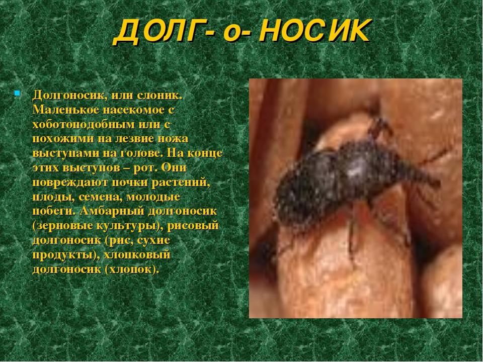 ДОЛГ- о- НОСИК Долгоносик, или слоник. Маленькое насекомое с хоботоподобным и...