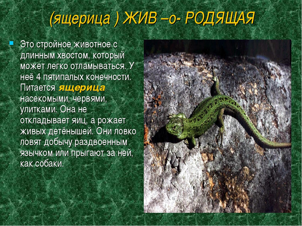 (ящерица ) ЖИВ –о- РОДЯЩАЯ Это стройное животное с длинным хвостом, который м...