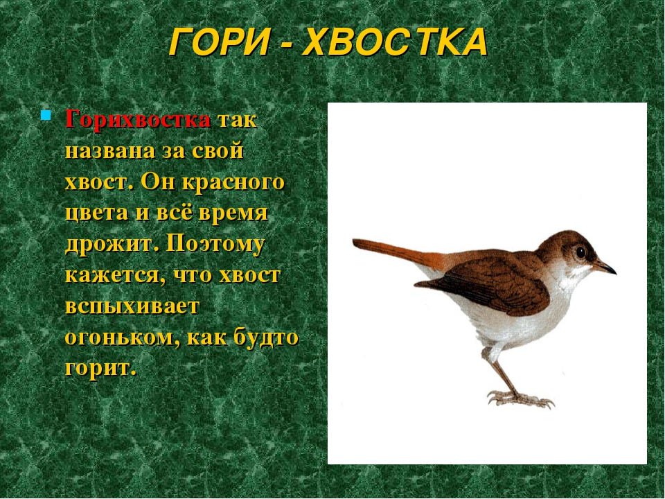 ГОРИ - ХВОСТКА Горихвостка так названа за свой хвост. Он красного цвета и всё...