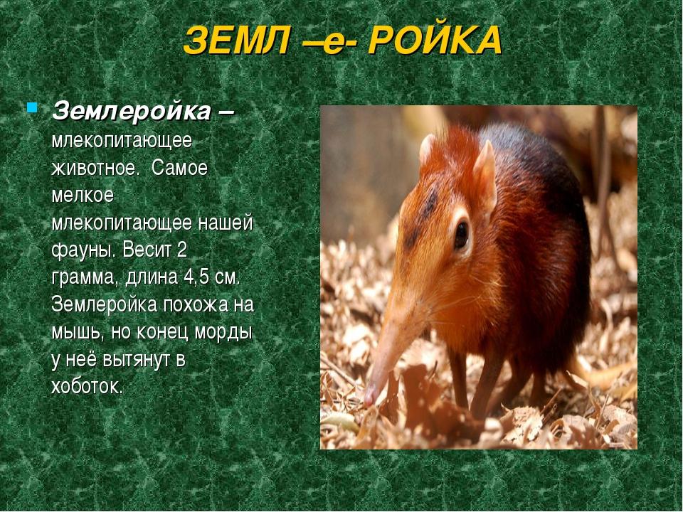 ЗЕМЛ –е- РОЙКА Землеройка – млекопитающее животное. Самое мелкое млекопитающе...
