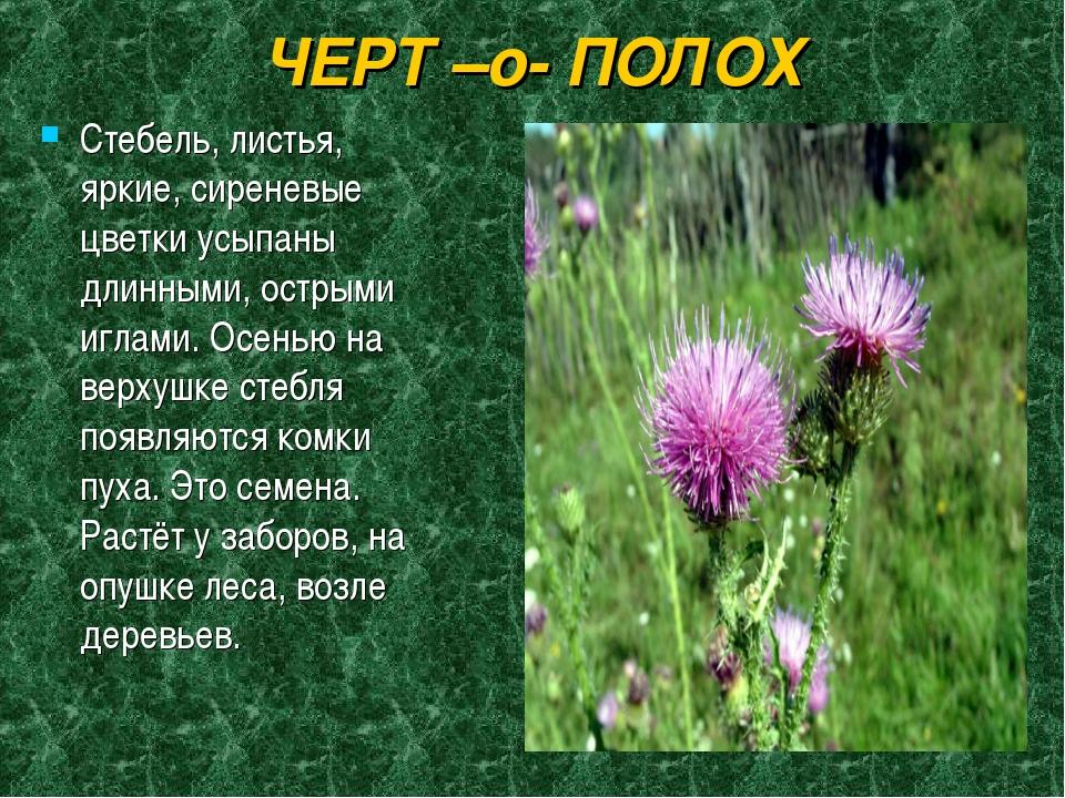 ЧЕРТ –о- ПОЛОХ Стебель, листья, яркие, сиреневые цветки усыпаны длинными, ост...