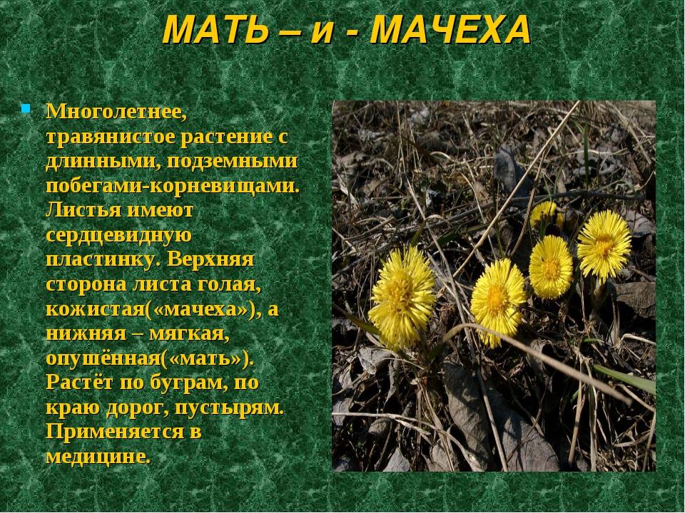 МАТЬ – и - МАЧЕХА Многолетнее, травянистое растение с длинными, подземными по...