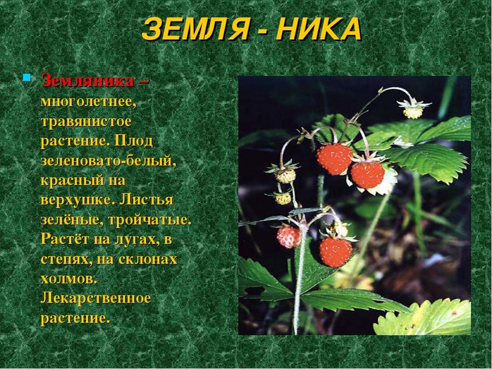 ЗЕМЛЯ - НИКА Земляника – многолетнее, травянистое растение. Плод зеленовато-б...