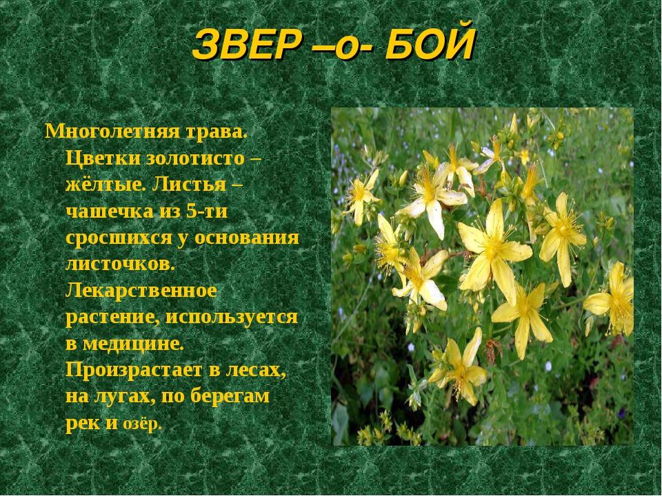 ЗВЕР –о- БОЙ Многолетняя трава. Цветки золотисто – жёлтые. Листья – чашечка и...