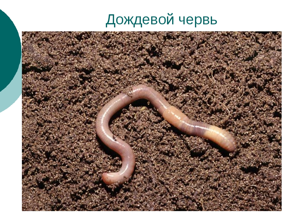 Дождевой червь
