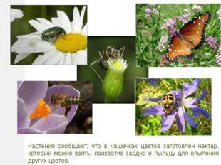 Растения сообщают, что в чашечках цветов заготовлен нектар, который можно взя