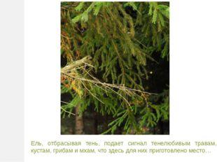 Ель, отбрасывая тень, подает сигнал тенелюбивым травам, кустам, грибам и мхам