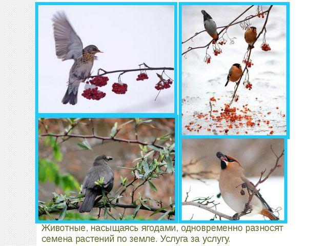 Животные, насыщаясь ягодами, одновременно разносят семена растений по земле....