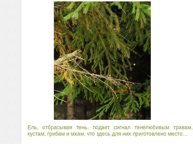 Ель, отбрасывая тень, подает сигнал тенелюбивым травам, кустам, грибам и мхам...