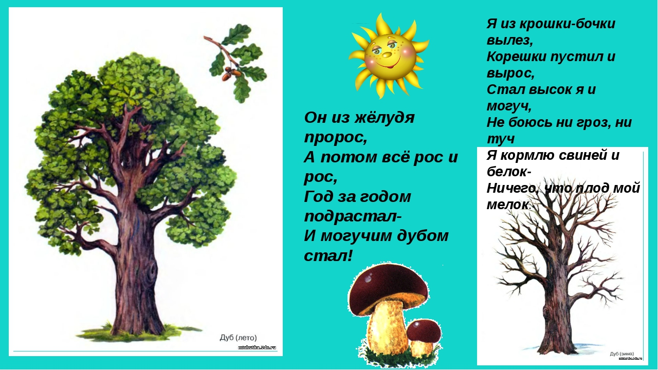 Он из жёлудя пророс, А потом всё рос и рос, Год за годом подрастал- И могучим...