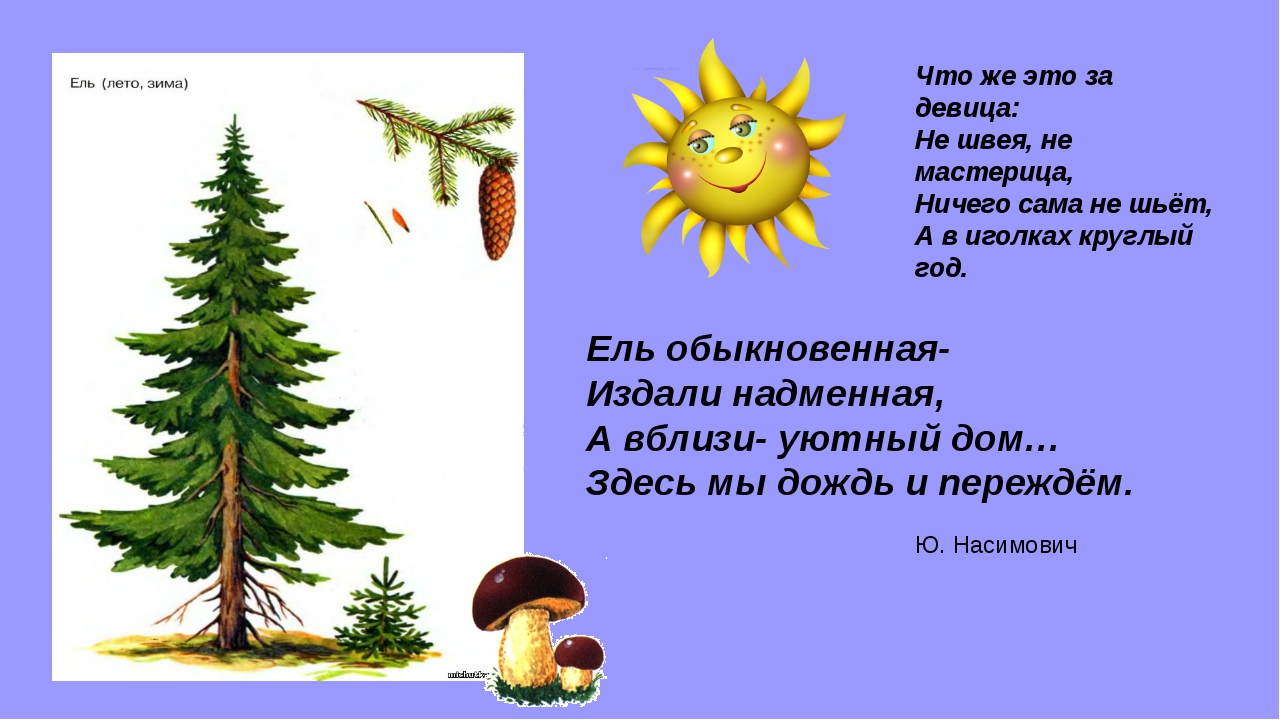 Ель обыкновенная- Издали надменная, А вблизи- уютный дом… Здесь мы дождь и пе...