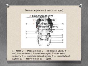 Голова таракана ( вид с переди) 1 – темя; 2 — сложный глаз; 3 — основание уси