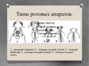 Типы ротовых апаратов. 1 - грызущий (таракан); 2 - лижеще-сосущий (пчела); 3