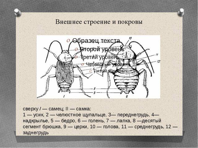 Внешнее строение и покровы сверху / — самец; II — самка: 1 — усик, 2 — челюст...
