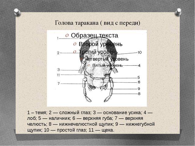 Голова таракана ( вид с переди) 1 – темя; 2 — сложный глаз; 3 — основание уси...