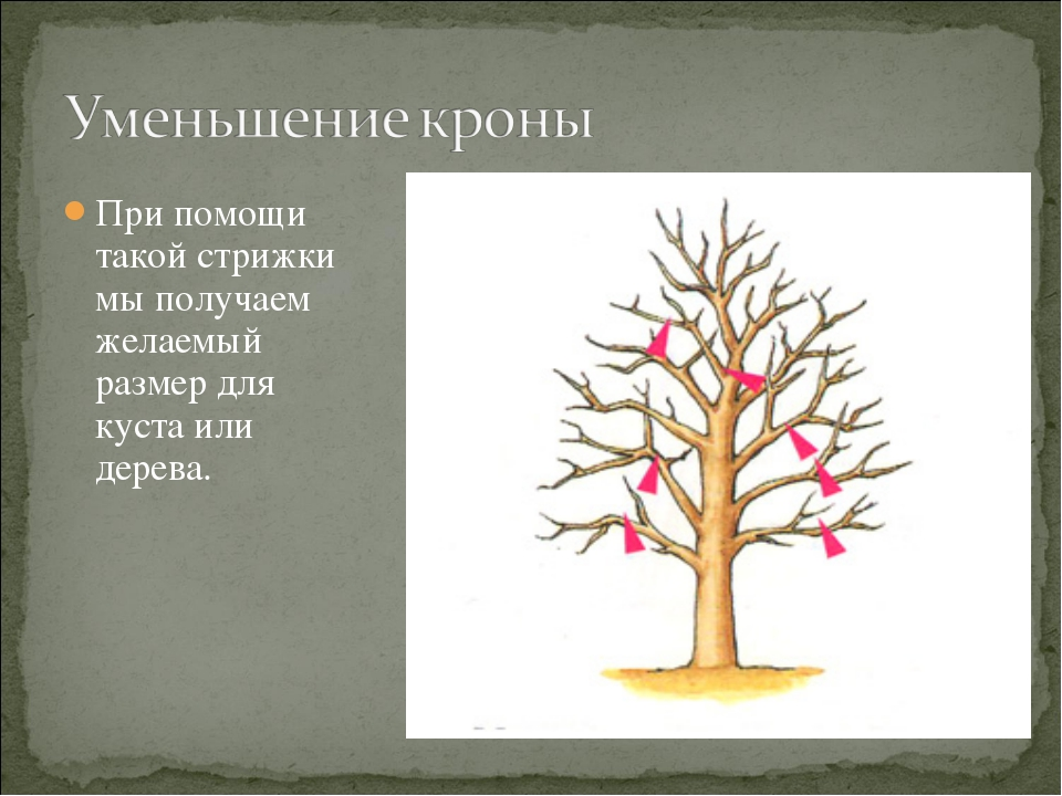 При помощи такой стрижки мы получаем желаемый размер для куста или дерева.