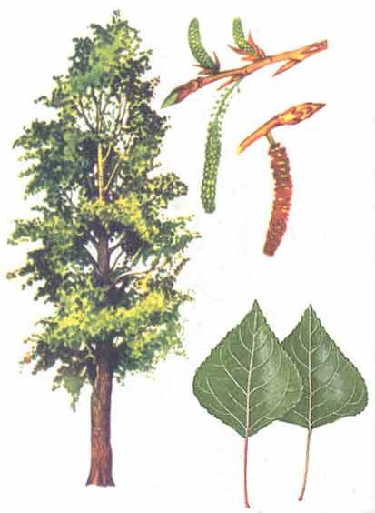Тополь - Деревья - Энергия растений - Статьи о практиках, саморазвитии, методики и другое - Сияние Рейки