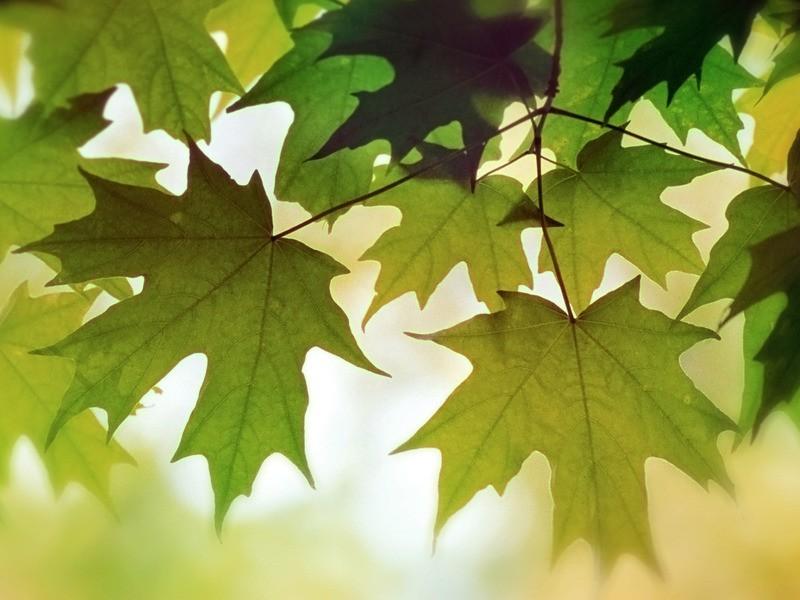 Обои свежесть, клен, листья 33318 / Раздел: Природа / HallPic.ru