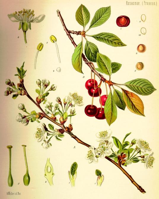 Плодовое дерево вишня. . Ответы на любые вопросы