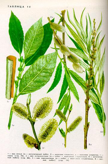 Сладконожник или говения - южный медонос: Деревья медоносы - Статьи - Пчелиный рай