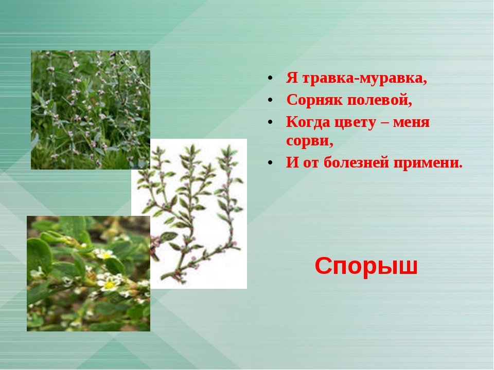 Я травка-муравка, Сорняк полевой, Когда цвету – меня сорви, И от болезней при...