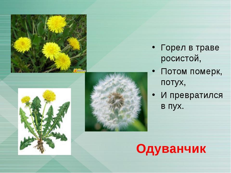 Горел в траве росистой, Потом померк, потух, И превратился в пух. Одуванчик