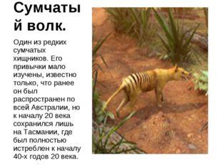Сумчатый волк. Один из редких сумчатых хищников. Его привычки мало изучены, и