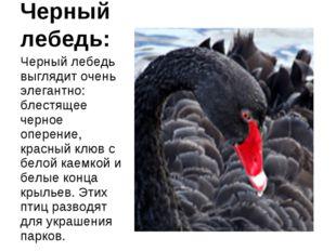 Черный лебедь: Черный лебедь выглядит очень элегантно: блестящее черное опере