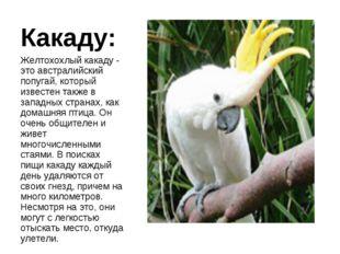 Какаду: Желтохохлый какаду - это австралийский попугай, который известен такж