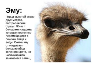 Эму: Птица высотой около двух метров, австралийский страус. Живет большими ст