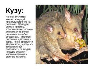Кузу: Ночной сумчатый зверек, живущий преимущественно на деревьях. Обладает ц