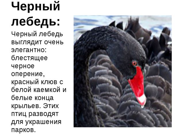 Черный лебедь: Черный лебедь выглядит очень элегантно: блестящее черное опере...
