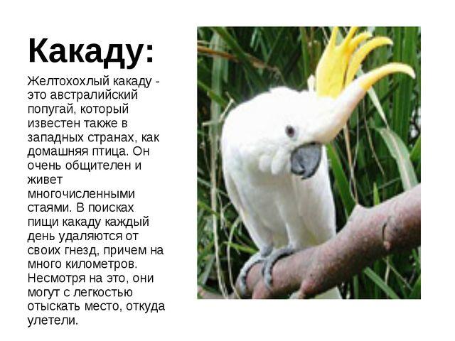 Какаду: Желтохохлый какаду - это австралийский попугай, который известен такж...