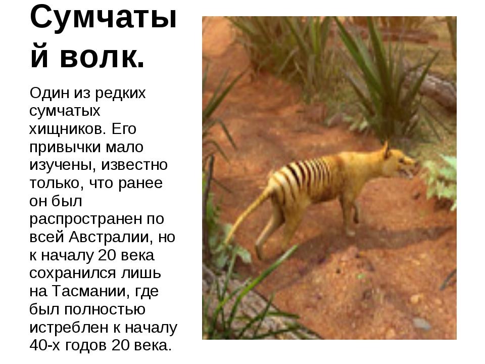 Сумчатый волк. Один из редких сумчатых хищников. Его привычки мало изучены, и...