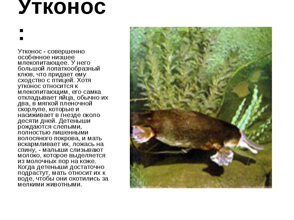 Утконос: Утконос - совершенно особенное низшее млекопитающее. У него большой...